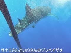 ハワイ島のジンベイザメ