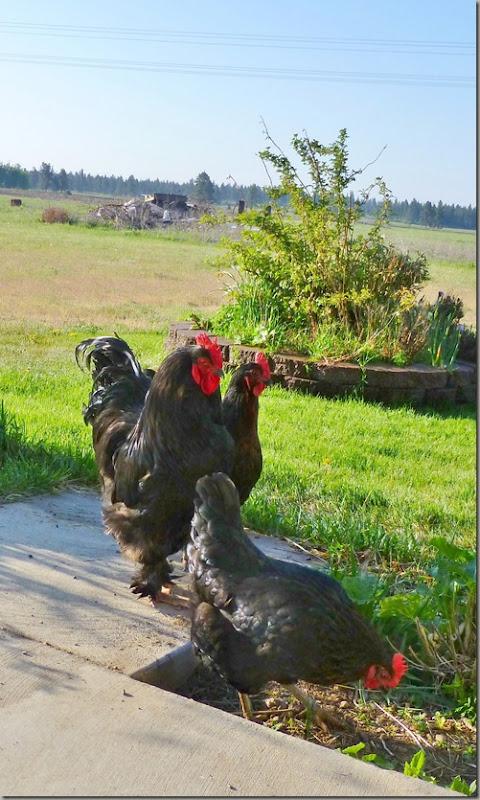 chickens 027