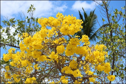 yellow flowering tree