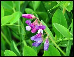 04v3 - Flowers - Sweet Peas