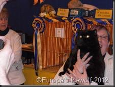 Overall Best in Show Winner_Black British Shorthair