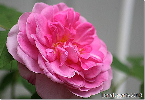 Rose_GertrudeJykll4