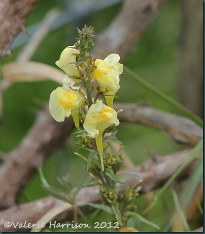 60-common-toadflax