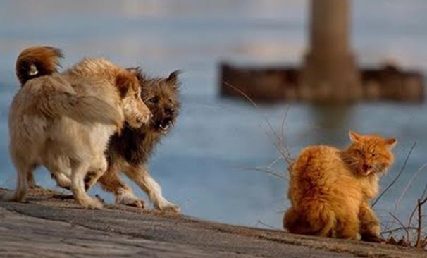 Brave Cat vs Dogs