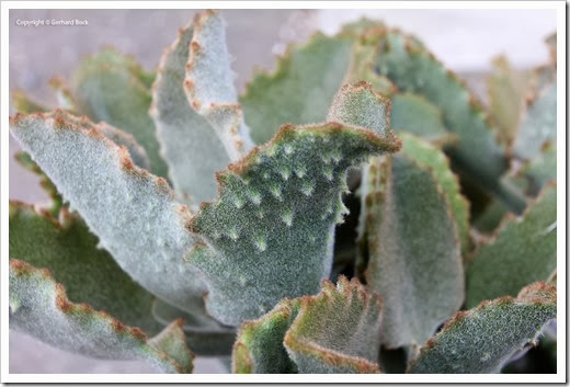 131029_Kalanchoe-beharensis-Fang_05