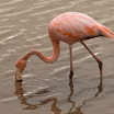 1154 Day 5 Caribbean Flamingo.jpg