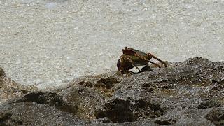 Krabbe.
