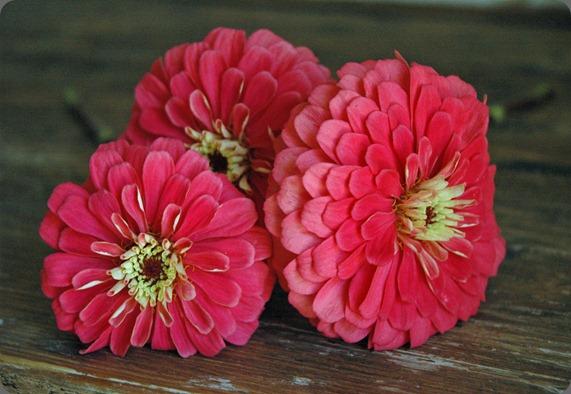 zinnia varieties 018e
