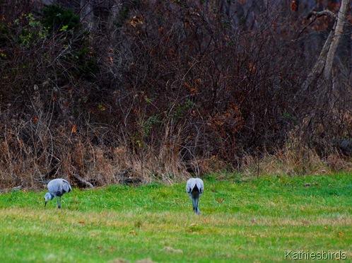 13. grazing cranes-kab
