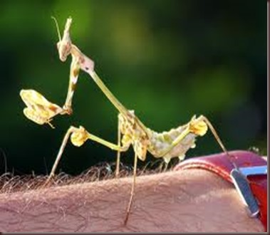 Amazing Pictures of Animals photo Nature exotic funny incredibel Zoo Mantis Arthropodo Insect. Alex (7)