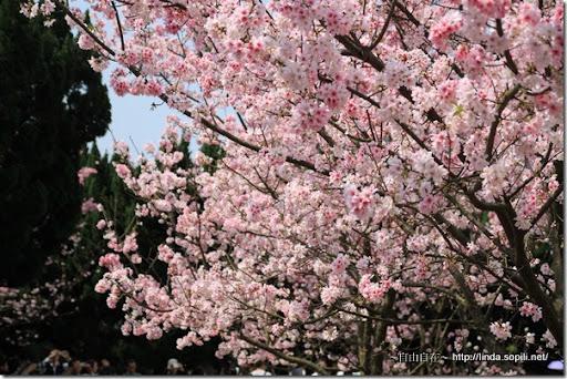 2010陽明山花季-吉野櫻
