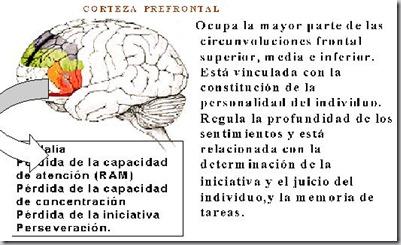 corteza prefrontal2