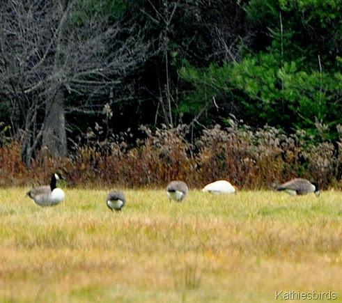 5. leuchistic goose-kab