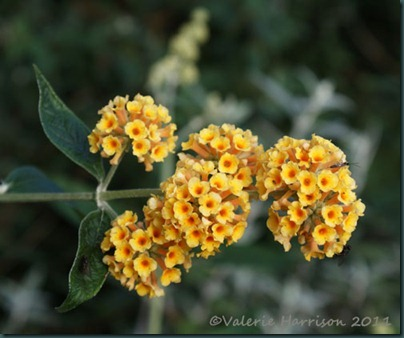 orange-buddleia