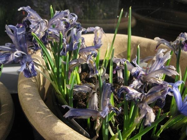 2012-03-27 Terrassen, avblomstrede iris