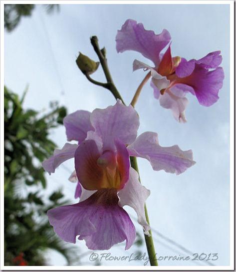 03-14-vanda-orchids