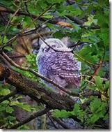 tawny owldet Center Parcs May 2014 (1)