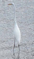 Plymouth Mayflower 8.13 2 harbor snowy egret2