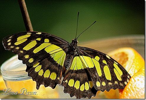 FPC_Butterfly_Malachite_siproeta_stelenes