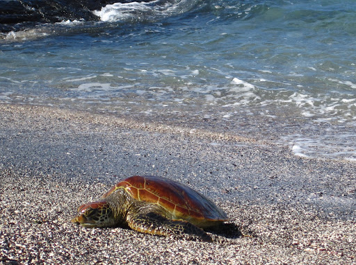 A young sea turtle, shell not yet green