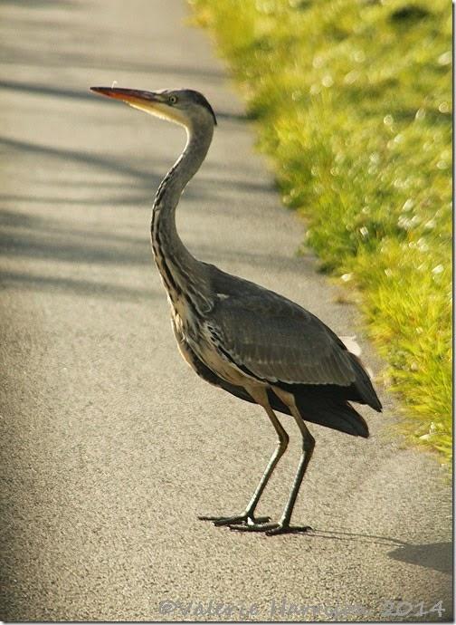 37-heron