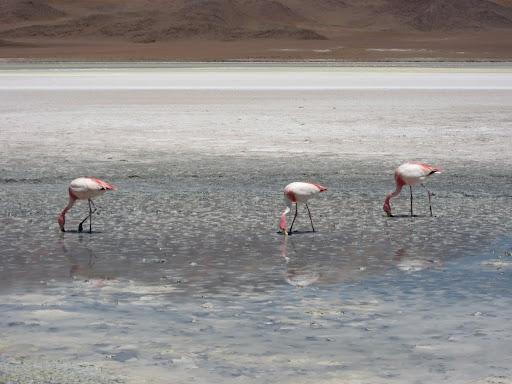 Flamingos feeding head-down in a lagoon.