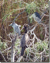 Neotropic Cormorants and the Black and Yellow Crowned Night Herons
