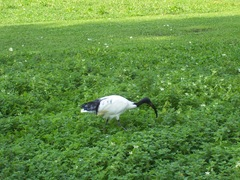 2011.09.23-008 ibis