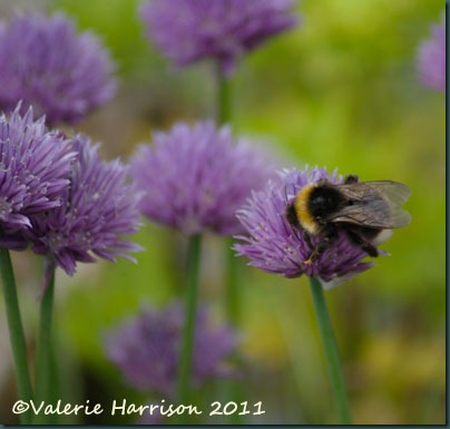 bumble-on-chives
