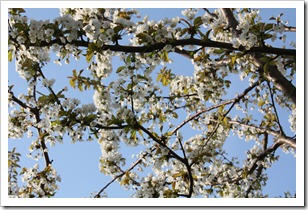 14 Spring Blossom