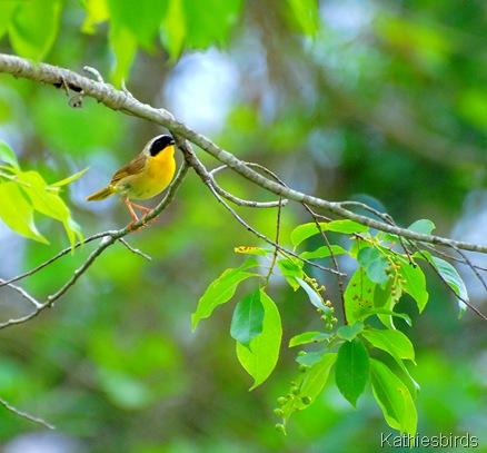 common yellowthroat-kathiesbirds