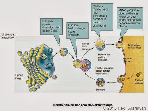 pembentukan lisosom