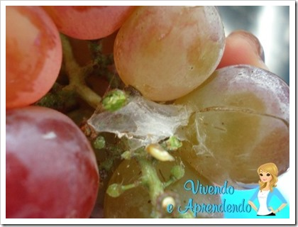 Higienizando as uvas2