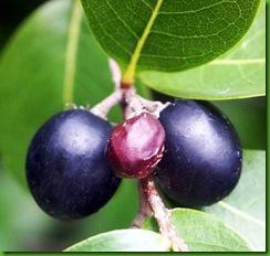 Black Cocoplum