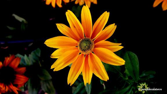 Floricele unguresti