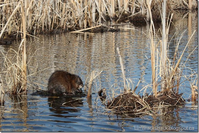 muskrat