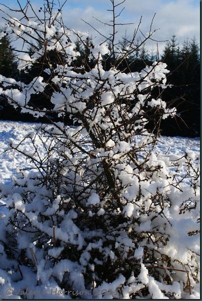 3-snowy-bush