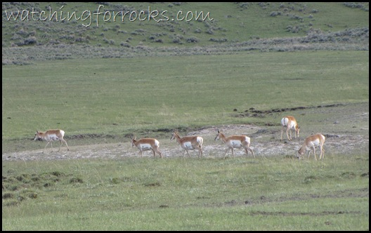 IMG_1769 Pronghorn
