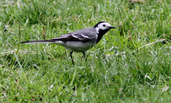 white_wagtail_12_05_17_norway_062-2