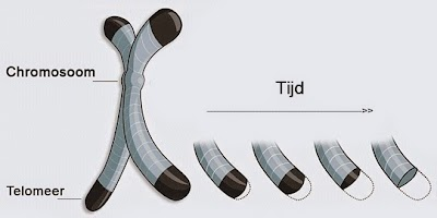 telomeer telomeren chromosoom www.ohwzo.nl.jpg
