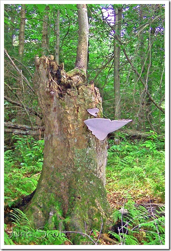 Large_White_Fungi