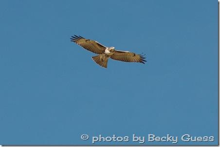 10-05-11 Hawks near Mora 03