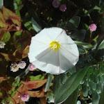 cistusroosje bloeit in de winter