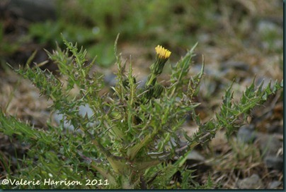 13-prickly sow-thistle