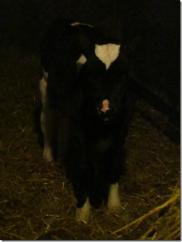 milkin cows 055
