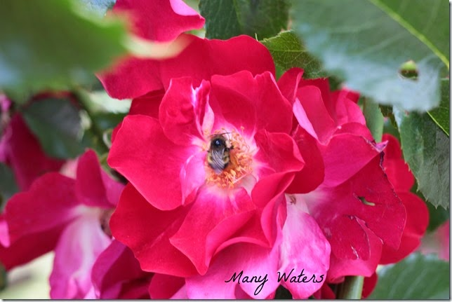 Many Waters Bee on a Rose