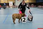 20130511-BMCN-Bullmastiff-Championship-Clubmatch-1521.jpg