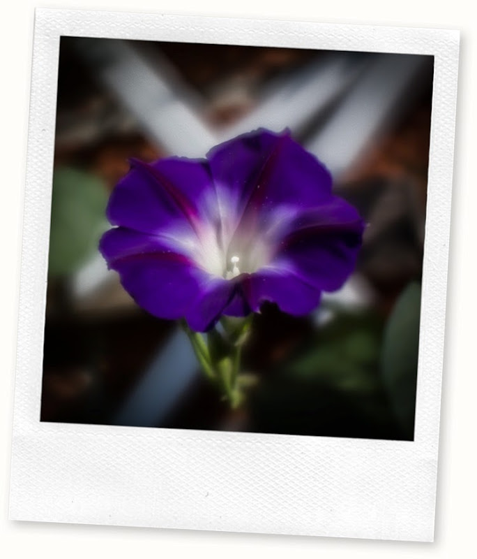 purple morning glory oilpaint