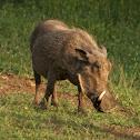 Southern Warthog (female)