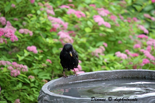 IMG_3900 Little Black Bird